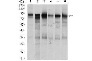 Image no. 3 for anti-Transforming Growth Factor, beta Receptor III (TGFBR3) (AA 147-328) antibody (ABIN1724751)