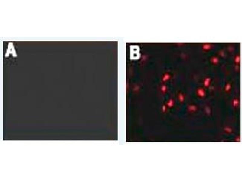 Immunofluorescence (IF) image for anti-HA-Tag antibody (ABIN1107475)
