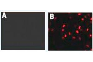 Immunofluorescence (IF) image for anti-HA-Tag antibody (ABIN1107475)