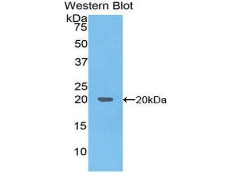 Western Blotting (WB) image for anti-Tumor Necrosis Factor (Ligand) Superfamily, Member 10 (TNFSF10) (AA 114-281) antibody (ABIN3201326)