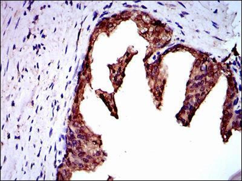 Immunohistochemistry (IHC) image for anti-Neural Precursor Cell Expressed, Developmentally Down-Regulated 8 (NEDD8) antibody (ABIN969547)