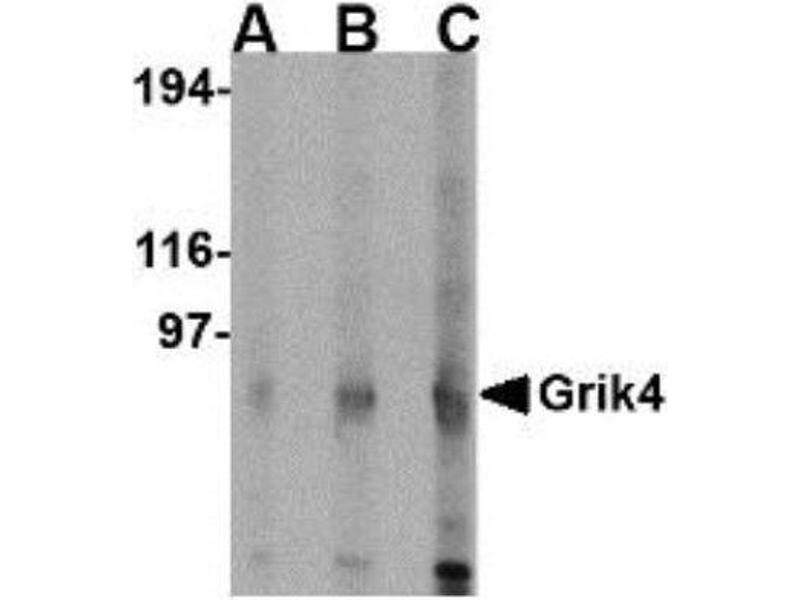 Western Blotting (WB) image for anti-Glutamate Receptor, Ionotropic, Kainate 4 (GRIK4) (C-Term) antibody (ABIN4328009)