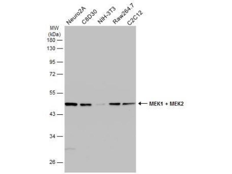 Western Blotting (WB) image for anti-Mitogen-Activated Protein Kinase Kinase 2 (MAP2K2) (Center) antibody (ABIN4333503)