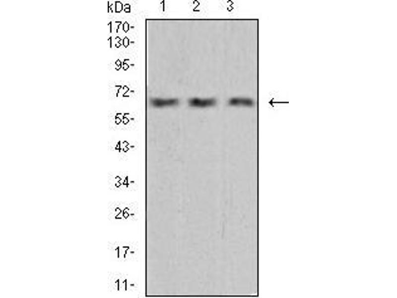Western Blotting (WB) image for anti-Vascular Endothelial Growth Factor A (VEGFA) (AA 207-371) antibody (ABIN5542403)