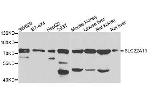 Image no. 1 for anti-Solute Carrier Family 22 (Organic Cation Transporter), Member 11 (SLC22A11) antibody (ABIN6147884)