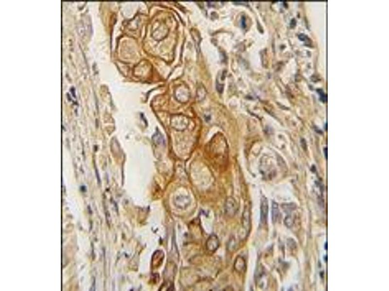 Immunohistochemistry (Paraffin-embedded Sections) (IHC (p)) image for anti-ACPP antibody (Acid Phosphatase, Prostate) (C-Term) (ABIN359766)