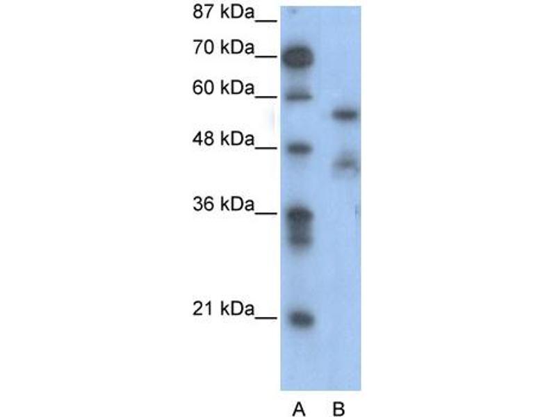 Western Blotting (WB) image for anti-Nuclear Factor I/A (NFIA) (Middle Region) antibody (ABIN182644)