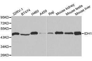 Image no. 4 for anti-Isocitrate Dehydrogenase 1 (NADP+), Soluble (IDH1) antibody (ABIN3023106)