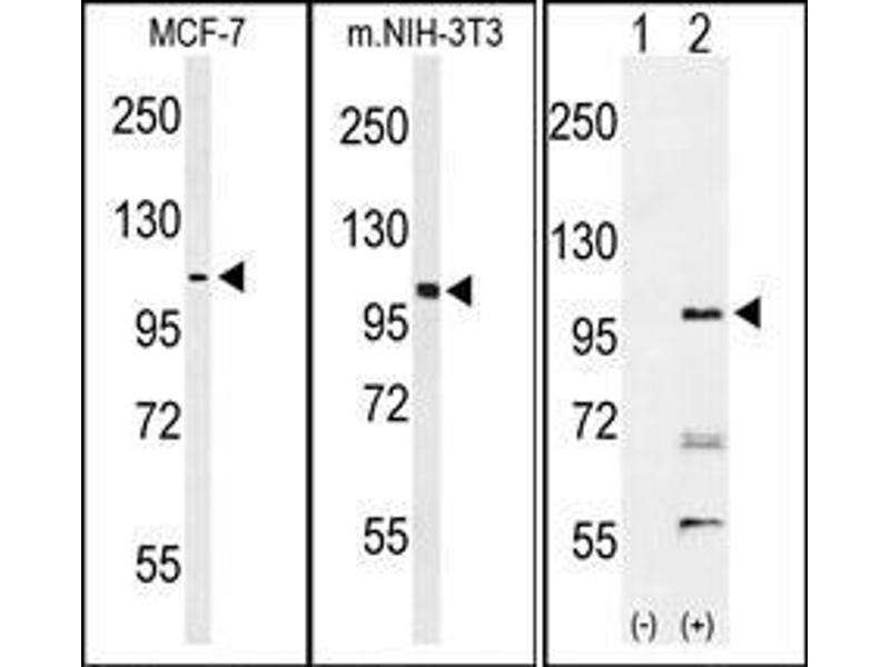 Western Blotting (WB) image for anti-EPH Receptor A2 antibody (EPHA2) (AA 38-67) (ABIN359790)