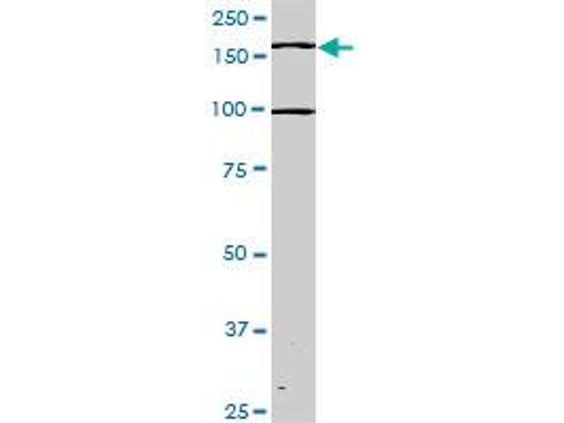 Image no. 2 for anti-TEK Tyrosine Kinase, Endothelial (TEK) (AA 66-185) antibody (ABIN793004)