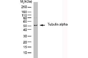 Western Blotting (WB) image for anti-TUBA1A antibody (Tubulin, alpha 1a)  (HRP) (ABIN2476997)