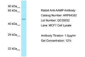 Image no. 1 for anti-Angio-Associated, Migratory Cell Protein (AAMP) (Middle Region) antibody (ABIN2789822)