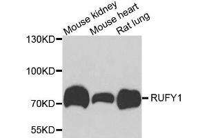 Image no. 1 for anti-RUN and FYVE Domain Containing 1 (RUFY1) antibody (ABIN6147302)
