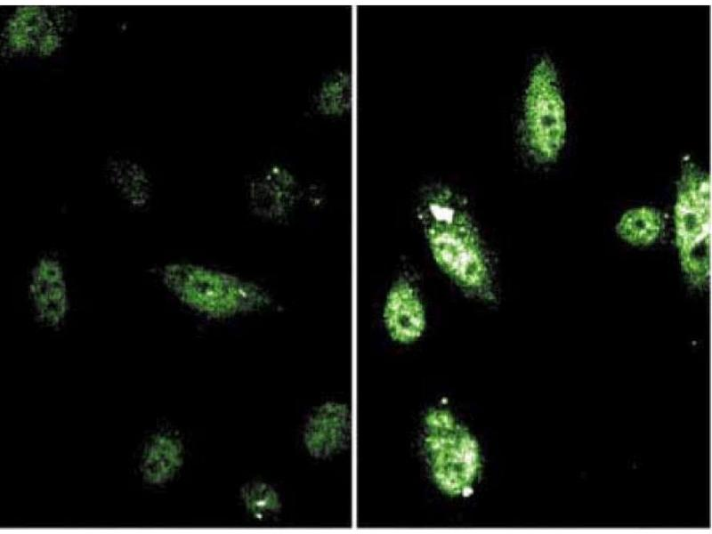 Immunofluorescence (IF) image for anti-Signal Transducer and Activator of Transcription 6, Interleukin-4 Induced (STAT6) (pTyr641) antibody (ABIN968594)