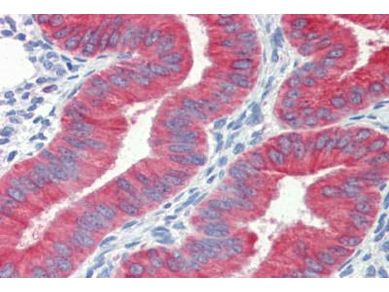 Immunohistochemistry (Paraffin-embedded Sections) (IHC (p)) image for anti-Cytochrome C antibody (Cytochrome C, Somatic) (ABIN462359)