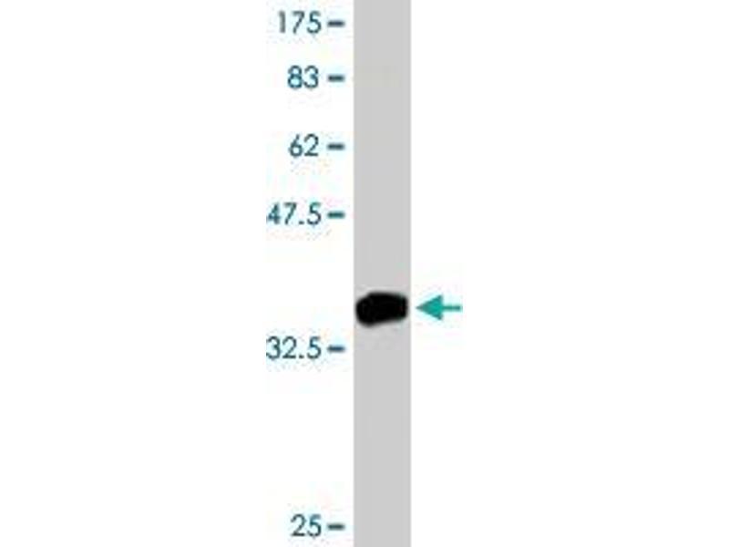 Western Blotting (WB) image for anti-PTK7 Protein tyrosine Kinase 7 (PTK7) (AA 36-146) antibody (ABIN393799)