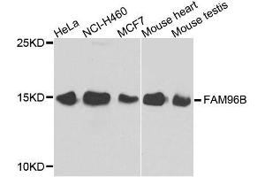 Image no. 1 for anti-Family with Sequence Similarity 96, Member B (FAM96B) antibody (ABIN6140467)
