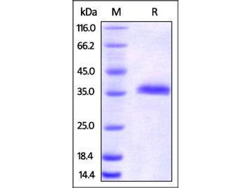 SDS-PAGE (SDS) image for HEK-293 Cells IgG isotype control (AVI tag,Biotin) (ABIN2870572)