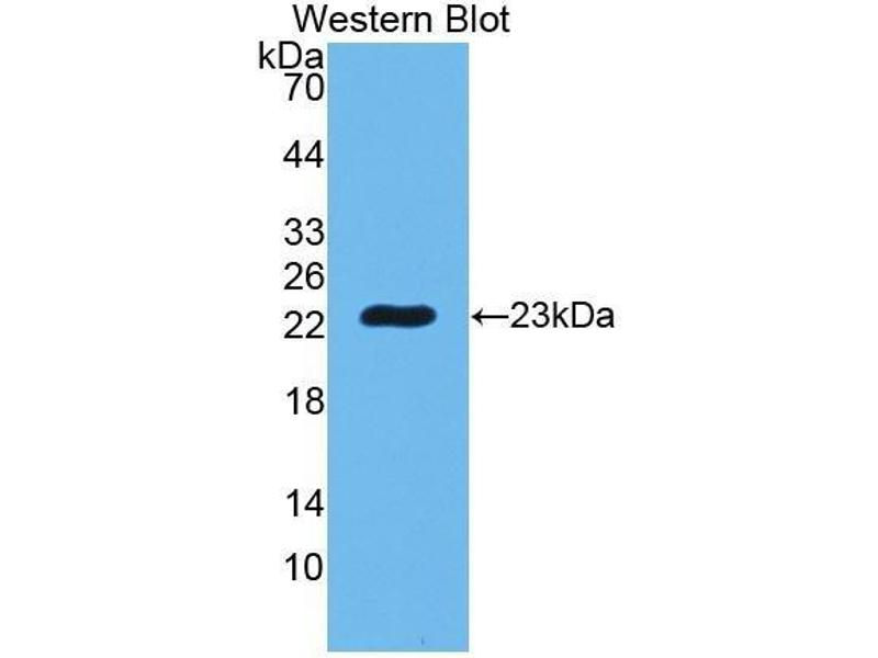 Western Blotting (WB) image for anti-Peptidoglycan Recognition Protein 1 (PGLYRP1) (AA 22-196) antibody (ABIN1860200)