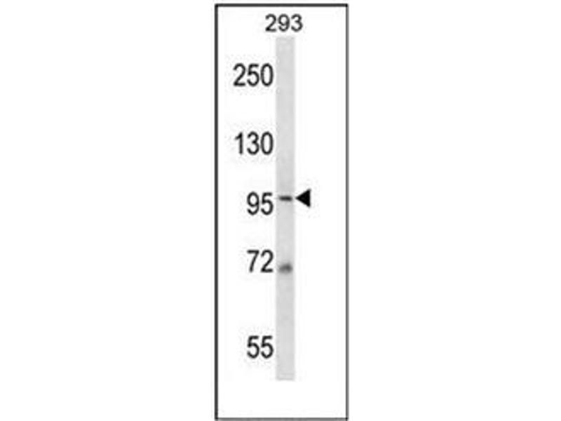 Western Blotting (WB) image for anti-Minichromosome Maintenance Complex Component 6 (MCM6) (AA 79-109), (N-Term) antibody (ABIN953355)