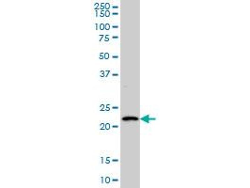 Western Blotting (WB) image for anti-BARX Homeobox 1 (BARX1) (AA 1-100), (full length) antibody (ABIN565971)