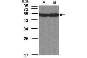 Image no. 2 for anti-CAMP Responsive Element Binding Protein 3-Like 1 (CREB3L1) (C-Term) antibody (ABIN2855962)