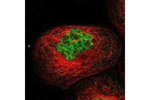 Image no. 2 for anti-Dual Specificity Phosphatase 19 (DUSP19) antibody (ABIN4306401)