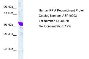 Image no. 1 for Peptidylprolyl Isomerase A (Cyclophilin A) (PPIA) protein (ABIN987267)