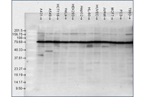 anti-Heat Shock Protein 90kDa alpha (Cytosolic), Class B Member 1 (HSP90AB1) antibody