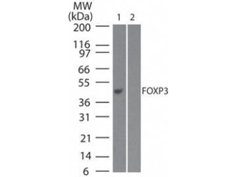 Western Blotting (WB) image for anti-FOXP3 antibody (Forkhead Box P3) (N-Term) (ABIN252536)