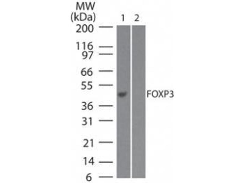 Western Blotting (WB) image for anti-FOXP3 antibody (Forkhead Box P3) (N-Term) (ABIN252536)