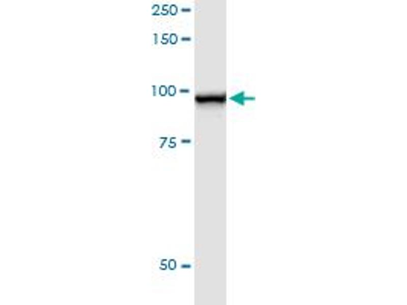 Immunoprecipitation (IP) image for anti-Signal Transducer and Activator of Transcription 5A (STAT5A) (AA 1-794), (full length) antibody (ABIN520541)