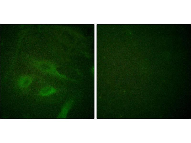 Immunofluorescence (IF) image for anti-NFKBIE antibody (Nuclear Factor of kappa Light Polypeptide Gene Enhancer in B-Cells Inhibitor, epsilon) (Ser22) (ABIN2449156)