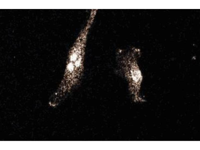 image for anti-SLC3A2 antibody (Solute Carrier Family 3 (Activators of Dibasic and Neutral Amino Acid Transport), Member 2) (AA 9-204) (ABIN968570)