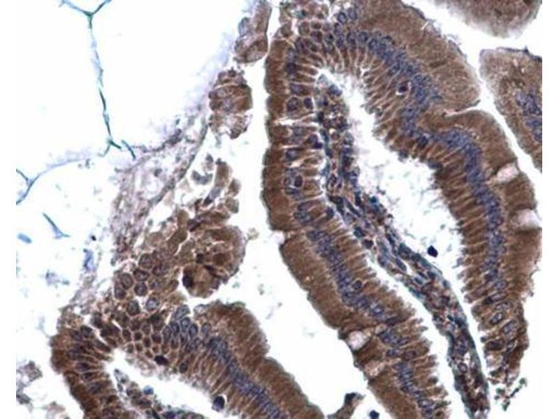 Immunohistochemistry (IHC) image for anti-Calnexin (CANX) (Internal Region) antibody (ABIN2855124)