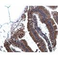 IHC-P Image Calnexin antibody [N3C2], Internal detects Calnexin protein at cytoplasm on mouse duodenum by immunohistochemical analysis. Sample: Paraffin-embedded mouse duodenum. Calnexin antibody [N3C2], Internal , diluted at 1:500.