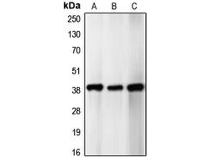 Western Blotting (WB) image for anti-C-JUN antibody (Jun Proto-Oncogene) (Center) (ABIN2706755)