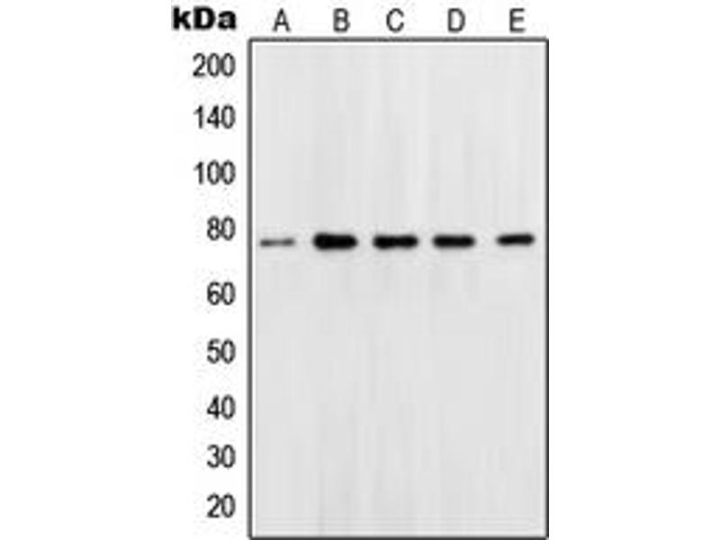 Image no. 1 for anti-Solute Carrier Family 22 (Organic Cation Transporter), Member 1 (SLC22A1) (N-Term) antibody (ABIN2707286)