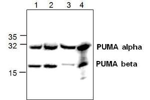Western Blotting (WB) image for anti-BCL2 Binding Component 3 (BBC3) antibody (ABIN411574)