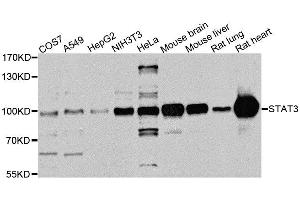 Image no. 2 for anti-Signal Transducer and Activator of Transcription 3 (Acute-Phase Response Factor) (STAT3) antibody (ABIN6148568)