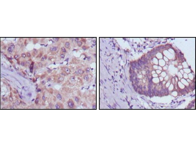 Immunohistochemistry (IHC) image for anti-3-hydroxybutyrate Dehydrogenase, Type 1 (BDH1) antibody (ABIN2869474)
