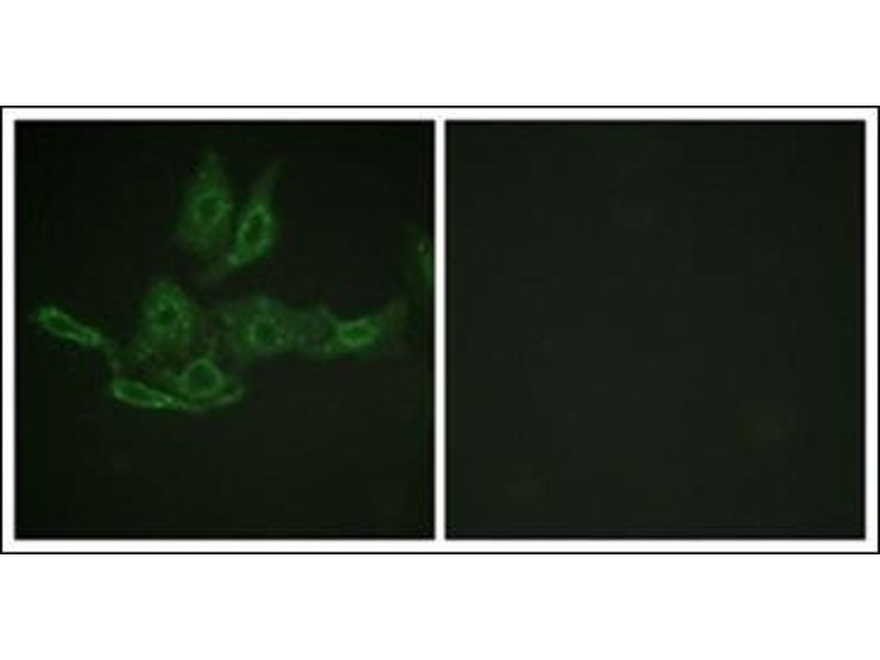 Immunofluorescence (IF) image for anti-BCL2 antibody (B-Cell CLL/lymphoma 2) (AA 145-157) (ABIN950625)
