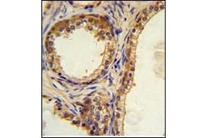 Image no. 2 for anti-CAMP Responsive Element Binding Protein 3-Like 1 (CREB3L1) (AA 488-517), (C-Term) antibody (ABIN452874)