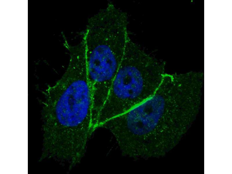 Immunofluorescence (IF) image for anti-V-Erb-B2 erythroblastic Leukemia Viral Oncogene Homolog 2, Neuro/glioblastoma Derived Oncogene Homolog (Avian) (ERBB2) (pThr1172) antibody (ABIN1539721)