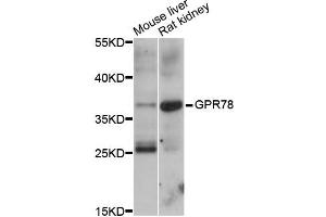 Image no. 1 for anti-G Protein-Coupled Receptor 78 (GPR78) antibody (ABIN6292098)