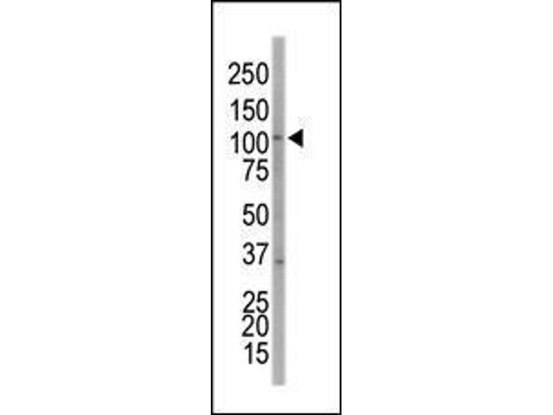 Western Blotting (WB) image for anti-EPH Receptor A7 antibody (EPHA7) (AA 896-925) (ABIN391899)