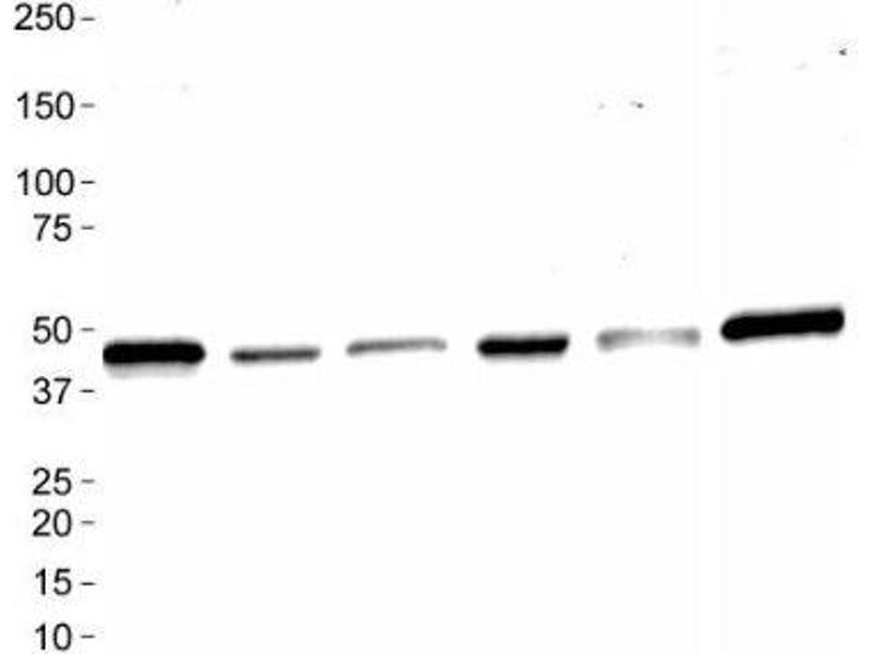Image no. 4 for anti-MAS1 Oncogene (MAS1) (AA 75-125), (Internal Region) antibody (ABIN4332754)