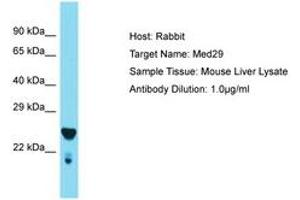 Image no. 1 for anti-Mediator Complex Subunit 29 (MED29) (AA 98-147) antibody (ABIN6749907)