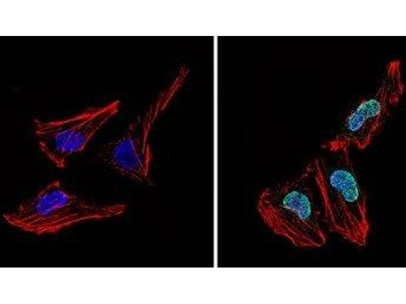 Image no. 2 for anti-Nuclear Receptor Subfamily 1, Group H, Member 3 (NR1H3) antibody (ABIN4331875)