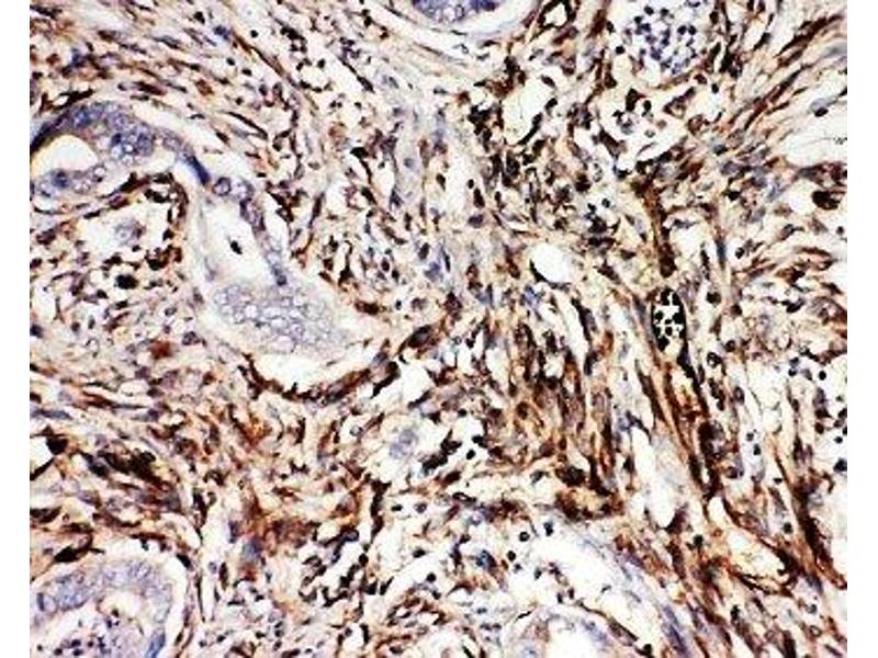 Immunohistochemistry (IHC) image for anti-Neuregulin 1 (NRG1) (C-Term) antibody (ABIN3031973)